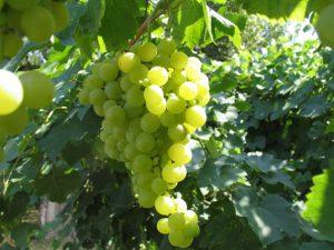 vitigno-alionza